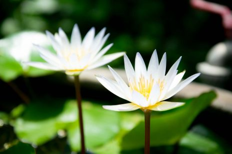 white lotus flower background