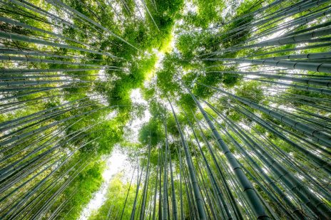 Low angle view beautiful green Bamboo grove forest