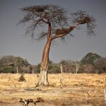 wild dogs and baobab tree